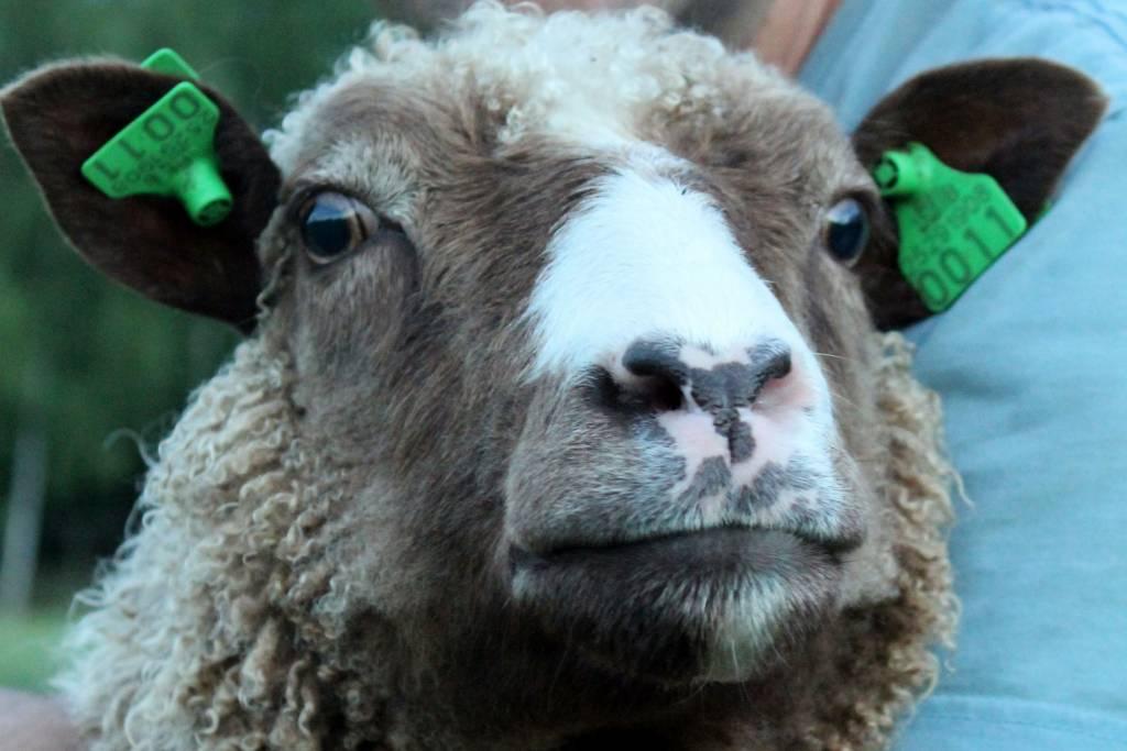 Koivusalon mökin lammas