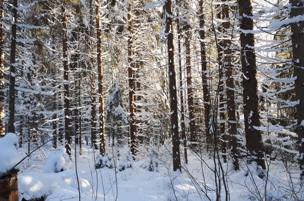 Vallonjärven luontopolun talvinen metsä auringon paisteessa.