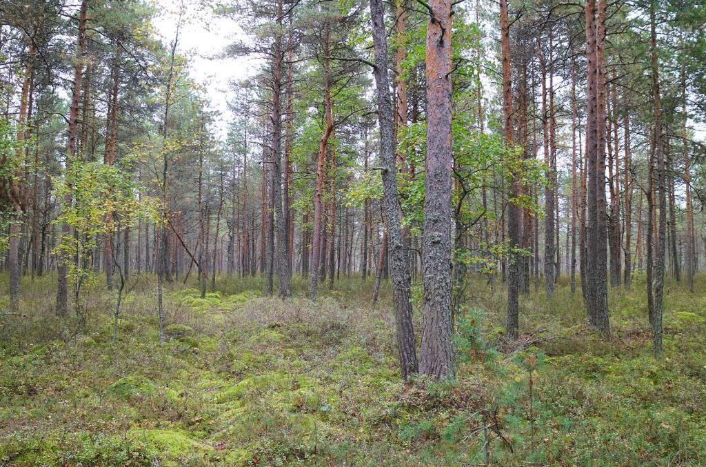 Isovarpurämettä Saarioisjärvellä Vasikkalanrahkalla.