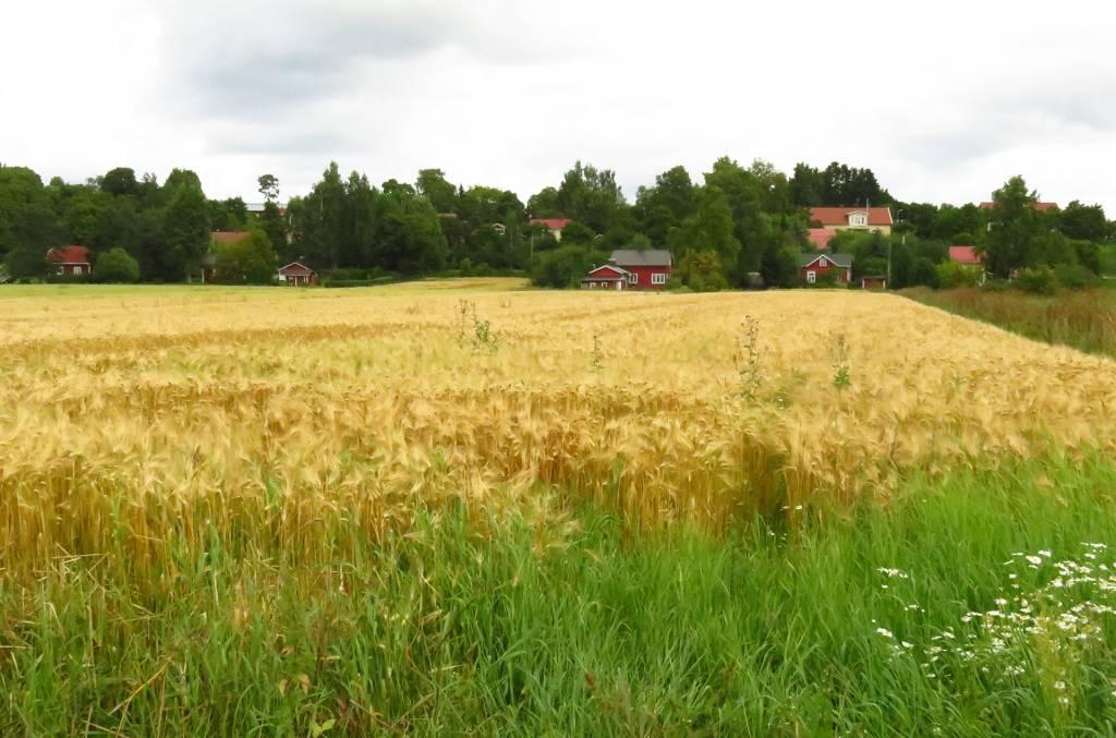 Peltomaisemaa ja perinteisiä puisia asuinrakennuksia Huittulassa.